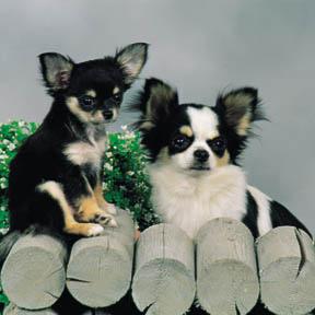 espécies de cães