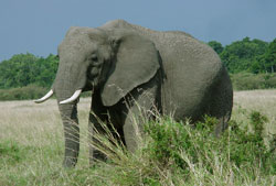 Família Dumbo