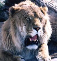 Tigre x Leão