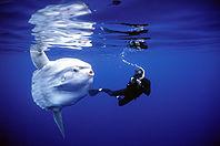 peixe cabeção