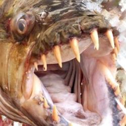 Peixe Transgênico