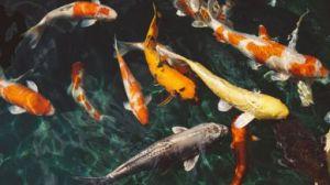 Fenômeno dos peixes